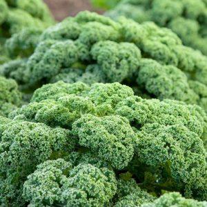 boerenkool-seed