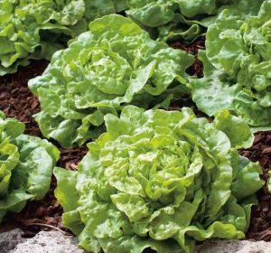 lettuce-tom-thumb