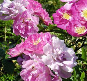 rose-garden-party