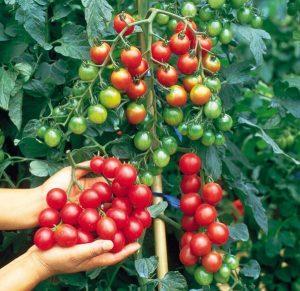 tomato-sweet