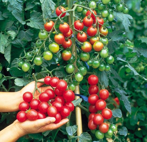 how to grow cherry tomatoes at home