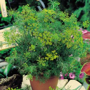 how to grow dill indoors