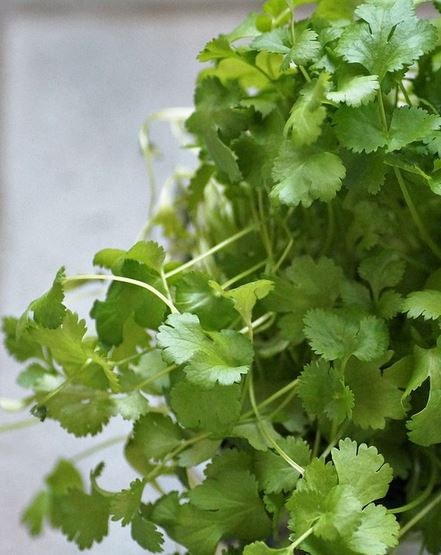 How to grow coriander indoors
