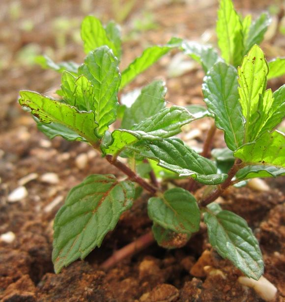 Mint Plant - How to grow mint indoors