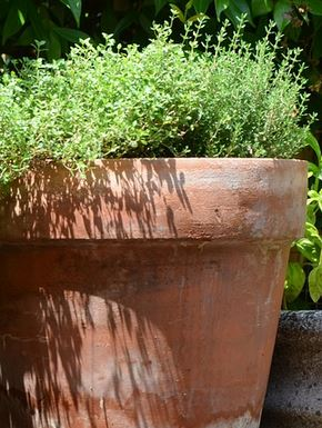 how to grow thyme indoors
