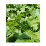 seed coriander