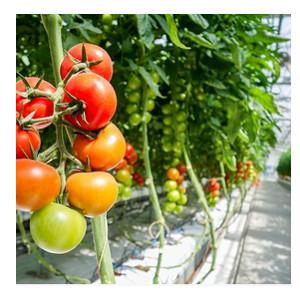 hydroponic greenhouse tomato